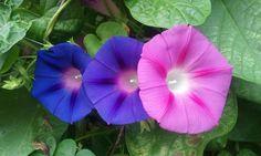 반어깨 내어주듯 고운 꽃잎을 나눈 파랑나팔꽃형제와 분홍나팔꽂누나...나팔꽃3남매들의 모습이 참 이쁩니다.  나팔꽃향 맡으시고 행복한 날 되세요~**~12.09.13.목