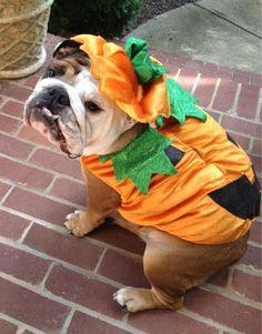 Bulldog Costumes – BaggyBulldogs | Mascotas | Pinterest | Bulldog ...