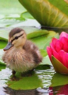 Ducklings are so cute. Pictures Of Spring Flowers, Flower Pictures, Animal Pictures, Nature Animals, Animals And Pets, Anas Platyrhynchos, Beautiful Birds, Animals Beautiful, Cute Baby Animals