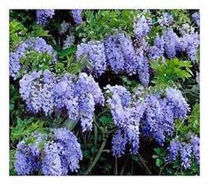 11. wisteria falls blue - don't want purple or white.