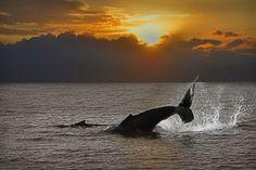 Whale Tale and Calf...Maui, HI