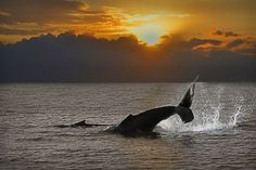 Whale tail and calf in Hawaii.  The whales are here Dec.-April.  It is an amazing sight to not be missed.   Contact Travel to Maui for travel packages to Hawaii. http://www.traveltomaui.net