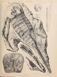 A monograph of the British fossil Crustacea, - Biodiversity Heritage Library