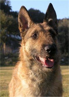 ♥RDS♥ 21  Belgian Shepherd Dog (Laekenois)