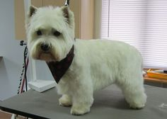westie Dog Grooming Salons, Pet Grooming, West Highland Terrier, West Highland White, White Puppies, Scottie, Cutest Dog Ever, Westies, White Terrier