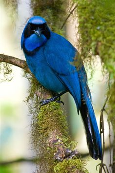 Royal blue Jay.