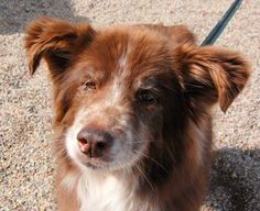 Jubilee is an easy going well mannered English Shepherd. She has a very friendly disposition and is looking for a home that likes to go for strolls. She is looking for a new forever home in Rifle, CO! See her page for adoption information!