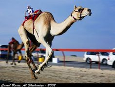 Camel jockeybots are very competitive!