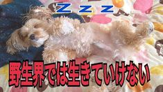 Youtube動画アップしましたぁ💡愛犬ティティさん動画💕チャンネルurlはプロフから🎶良かったら見てねぇー😘💕#youtube #愛犬 #ちわぷーmix犬 #ちわぷー #チワプー会 #チワプー #チワプー同好会 #チワプー部 #ワンコ部 #ワンコ #寝相