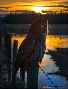 """""""Great Gray owl at sunset on fence post"""", Grande Valley Road by Robert Berdan ©"""