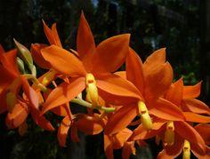 Prosthechea vitellina Syn.: Encyclia vitellina; Epidendrum vitellinum; Epidendrum vitellinum var autumnale; Epidendrum vitellinum var giganteum; Epidendrum vitellinum var majus; Pseudencyclia vitellina July 11, 2015