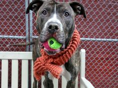 """CHERRY - A1069481 - - Manhattan  Please Share:   TO BE DESTROYED 04/14/16 A volunteer writes: While I hate to admit that I'm old enough to have sung along with Neil Diamond at the time, his lyrics, """"she got the way to move me, she got the way to groove me, Cherry baby"""" immediately came to mind as I leashed this gorgeous girl from her kennel. Quietly waiting for her turn for a walk, without intending to I saved the best for last as she's amazing. Her"""