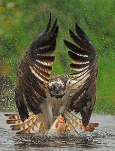 The ornate hawk-eagle (Spizaetus ornatus) fishing