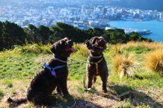 Zee.Dog Harnesses // #Dog #NewZealand #Schnoodle