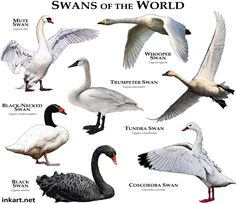 Fine art illustration of all extant species of swan Swans of the World Animals Of The World, Animals And Pets, Cute Animals, Unique Animals, Beautiful Birds, Animals Beautiful, Bird Identification, Swans, Animal Species