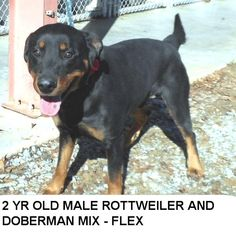 Meet Flex, an adoptable Rottweiler looking for a forever home. If you're looking for a new pet to adopt or want information on how to get involved with adoptable pets, Petfinder.com is a great resource.