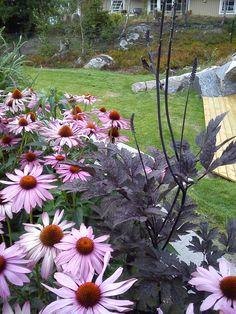 Actea and rudbeckia - Fin kombination, rudbeckia och höstsilverax Gravel Garden, Garden Paths, Garden Landscaping, Back Gardens, Outdoor Gardens, Low Maintenance Garden Design, Prairie Garden, Wonderful Flowers, Exterior