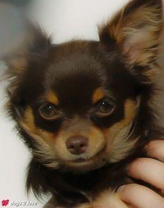 Chihuahua Honey  Ich bin klein, mein Herz ist rein.  Rasse: Chihuahua / Name: Honey     Mehr lesen: http://d2l.in/4i  dogs2love - Gassi gehen zum Verlieben. Partnerbörse für alle, die Hunde lieben.  Bild, Dating, Foto, Hund, Single