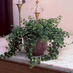 Ficus repens (verde y variegado) Peacock Plant, Arrowhead Plant, Paper Plants, Cheese Plant, Peace Lily, Big Plants, Indoor Plant Pots, Plant Needs, Ficus