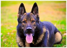 Amazing Photography of dogs   Our world-class German Shepherds are meticulously selected from the ...