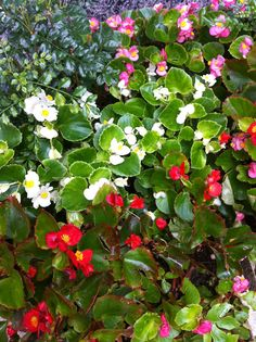begonia...these are the ones I especially like...