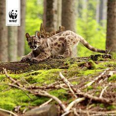 Das mit der Größe ist ja relativ, nicht nur beim Menschen. Der Puma ist zwar eine der größten Katzen überhaupt, zählt aber zu den Kleinkatzen. Und als Kleinkatze kann ein Puma nicht brüllen, dafür aber zwitschern, Glaubt ihr nicht?