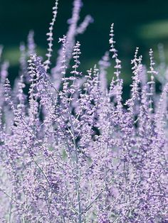 Russian Sage    Plant Name: Perovskia atriplicifolia  Growing Conditions: Full sun and well-drained soil  Size: To 5 feet tall and 3 feet wide  Zones: 4-9