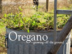 Growing Oregano off the ground, this is a great way to control your oregano from taking over a bed.  Garden Up Green