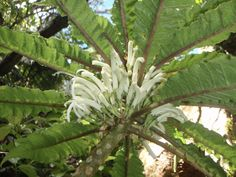 New Native Hawaiian Flower Discovered in West Maui   Maui Now Flower Structure, West Maui, Missouri Botanical Garden, Vascular Plant, Plant Science, Spider Plants, Hawaiian Flowers, Rare Plants, How To Preserve Flowers