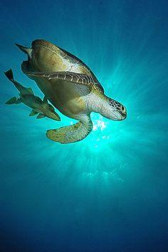 ♀ green sea turtle