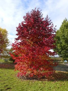 Liquidambar styraciflua Worplesdon Landscaping Near Me, Garden Landscaping, Trees And Shrubs, Trees To Plant, Red Oak Tree, Short Trees, Early Spring Flowers, Garden Bed Layout, Lost Garden
