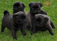Cute Black Pug Puppies ___ Love this Pugs?? Visit our website now!
