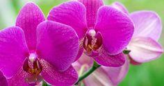 Comment faire refleurir vos orchidées. http://rienquedugratuit.ca/videos/comment-faire-refleurir-vos-orchidees/