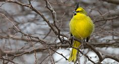 The Yellow Cardinal is prized as a songster and as a cage bird. Sadly it has decreased enormously in abundance the last few decades. The thorn scrub and forest edge habitat this bird prefers has declined, but even more, the Yellow Cardinal is one of the few Neotropical birds that has had a massive and negative effect directly from the cage bird trade. Why this species is so susceptible is not clear, but trapping intensity for this bird has been high for many decades.