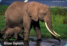 I love elephants. The African elephant is an endangered species. Beautiful creatures.
