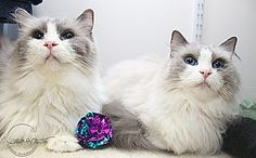 Ragdoll Cat for adoption in Charlotte, North Carolina - A..  Jack and Jill