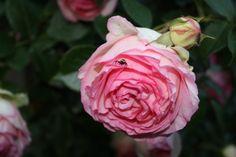rosa antica