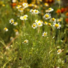 """chamomile!  sun, part shade 6-24"""" tall, 3-18"""" tall.  Blooms brew a soothing tea, blossoms can be put on salads, fresh or dried leaves make great seasoning for butter, cream sauces and sour cream.  pregnant and nursing mothers should not use chamomile."""