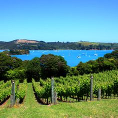 Winery Waiheke Island. New Zealand. Take a ferry from Auckland