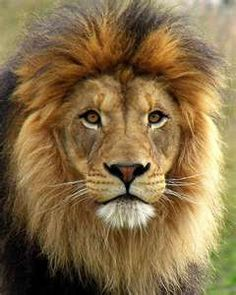 Lions:  Kings of the jungle.