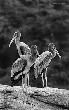 The three musketeers gathered and stood, all for one and one for all, looking proud, handsome and tall. Confidence, their deadliest weapon, they carried with aplomb. Devoid of color, they still stood strong. Deadly Animals, Black And White Birds, The Three Musketeers, Still Standing, Animals Of The World, Beautiful Creatures, Deadliest Animals, Cute Animals, Handsome