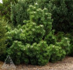 Pinus thunbergiana ' Thunderhead ' Japanese Black Pine