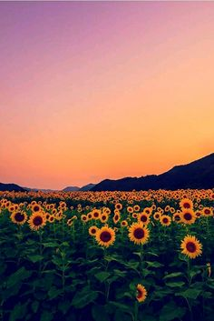 Background wallpaper discovered by hiloveitstay Beautiful World, Beautiful Places, Sunflower Wallpaper, Sunflower Fields, Field Of Sunflowers, Jolie Photo, Pretty Pictures, Beautiful Sky Pictures, Vintage Pictures