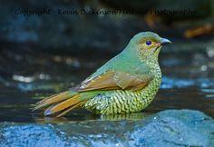 Juvenile Satin Bower Bird Kevin Dickinson fine art photography, canon photography, buy wildlife photograph, buy wildlife art