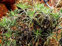 Alice Springs, Australia 2011 by Ashley J. Palmer, via Flickr Alice Springs, Herbs, Australia, Plants, Herb, Plant, Planets, Medicinal Plants