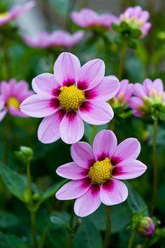 Cosmos Flowers, Flowers Nature, Exotic Flowers, Pink Flowers, Flower Images, Flower Pictures, Flower Art, Wonderful Flowers, Beautiful Flowers