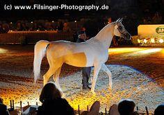 ELGINA - 1999 grey Pure Polish mare. Ekstern {Monogramm x Ernestyna by Piechur} x  Egna {Eukaliptus x Egzotyka by Probat}. Bred by Michalow Stud, Poland. Sold Pride of Poland 2012 for 25.000 Eur - GB.