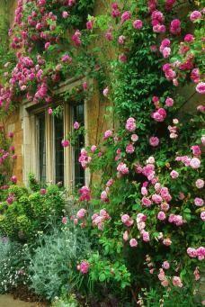 Rosa 'Seven Sisters' Flowers Garden