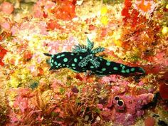The Wonderful Colors of Deep Sea Slugs Seen On  coolpicturegallery.blogspot.com