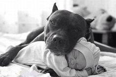 "despite their current unfortunate (and untrue) reputation for being vicious killers, pit bulls are great family dogs and used to be called ""the babysitter dog"" back in the early 20th century."
